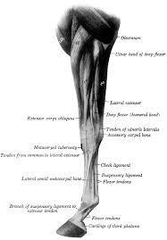 a lábak ízületeinek ínszalagok és inak kezelése)