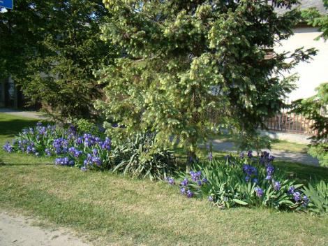 Kossuth utca tavasszal liliomokka
