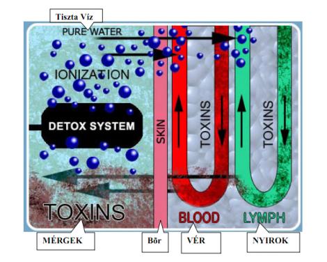 test méregtelenítési folyamat